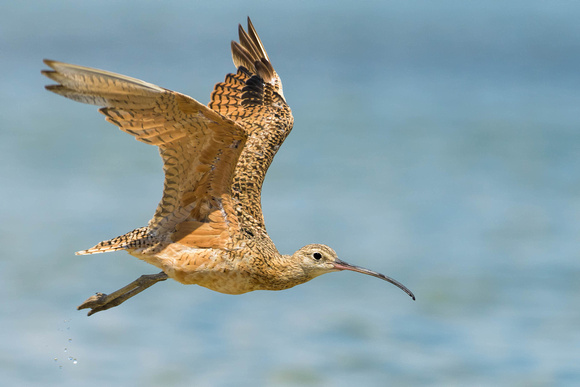 Long Billed Curlew in Flight
